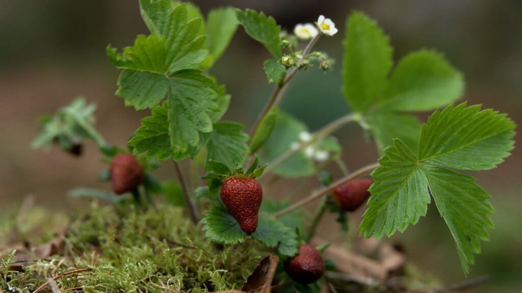 fraise Fraser's ridge outlander